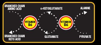 Branched Chain Amino Acid. Branched Chain Keto Acid. Ketoglutarate. Glutamate. Alanine. Pyruivate.