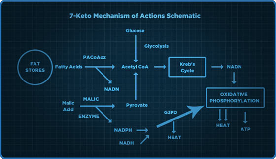 7-Keto Mechanis of Actions Schematic