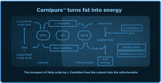 Carnipure turns fat into energy chart