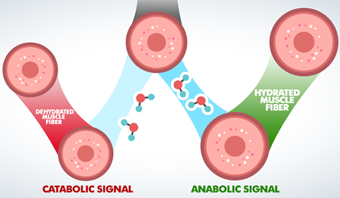 Catabolic and anabolic signal graphic
