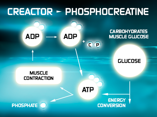 Creactor - Phosphocreatine